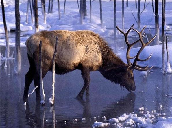 Viados ( white tail deer) Veado_3