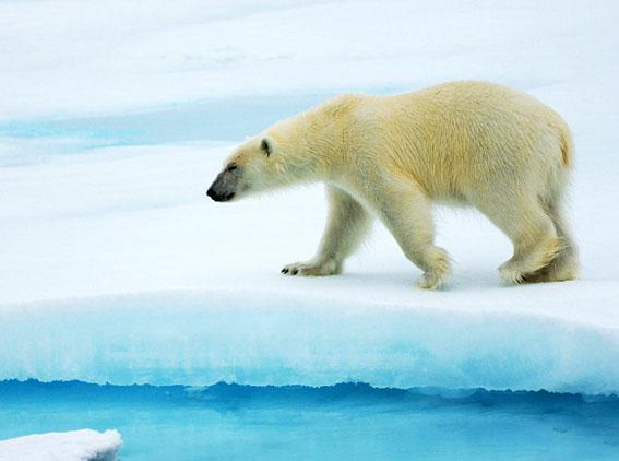 Полярный медведь на охоте ...
